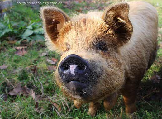 Porquinho na grama, H1N1 todas as informações sobre a gripe suína